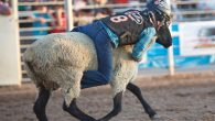 Mutton Bustin' is one of the most popular events at the Dinosaur Roundup Rodeo. Young cowboys and cowgirls that weigh less than 75 pounds and are between the ages of […]